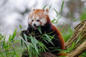 red-panda-1182066__340